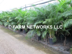 15 Gallon Areca Palm Tree