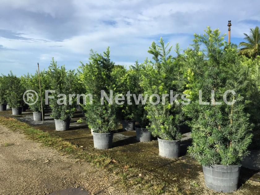 15-Gallon-Podocarpus