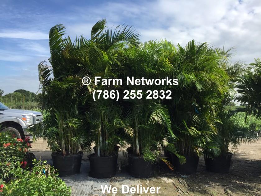 25 Gallon Areca Palm Trees