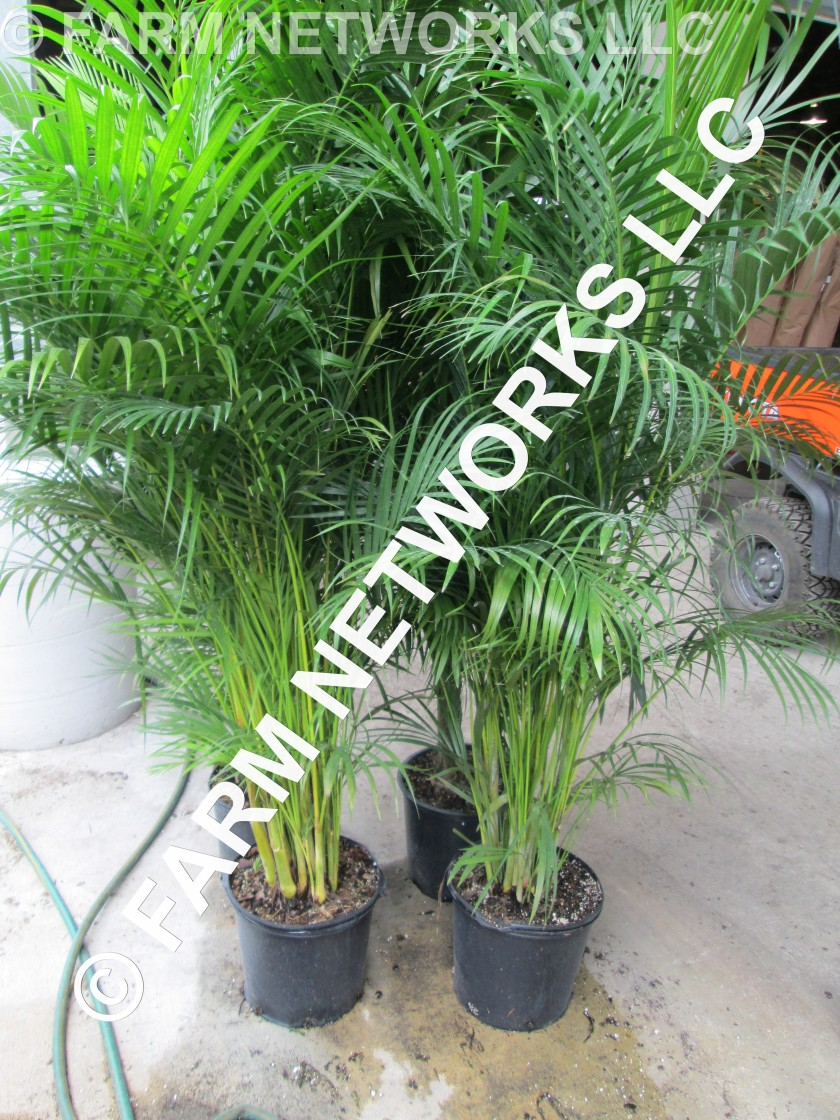 25 Gallon-Areca Palms for Sale