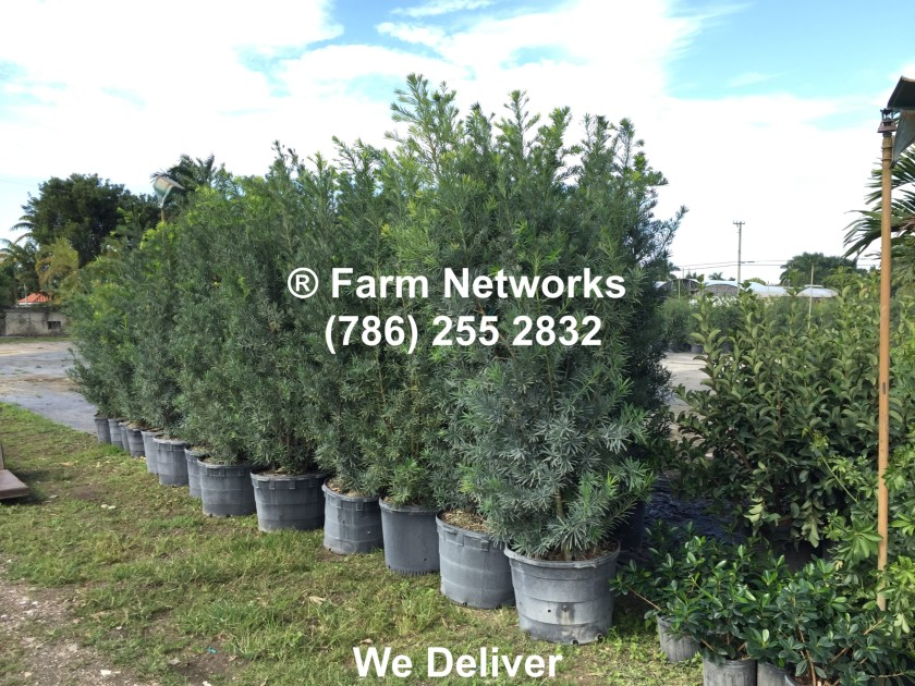 25-Gallon-Podocarpus-Broward