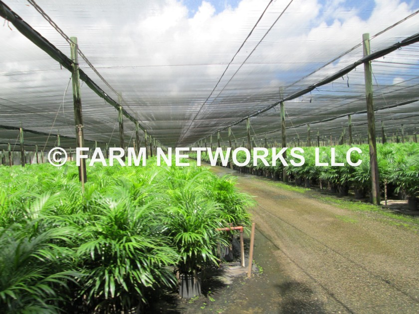 Homestead Areca Palm