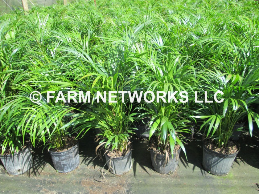 3 Gallon-Areca Palms for Sale