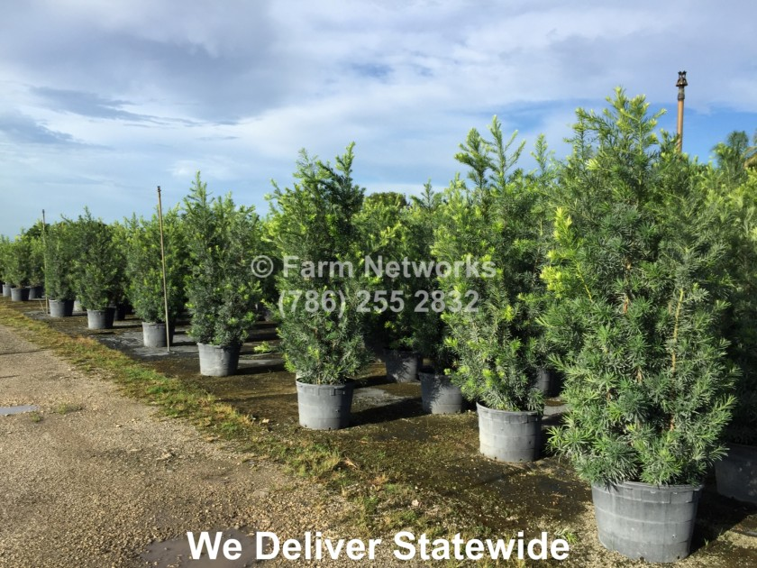 3-Gallon-Podocarpus-Broward