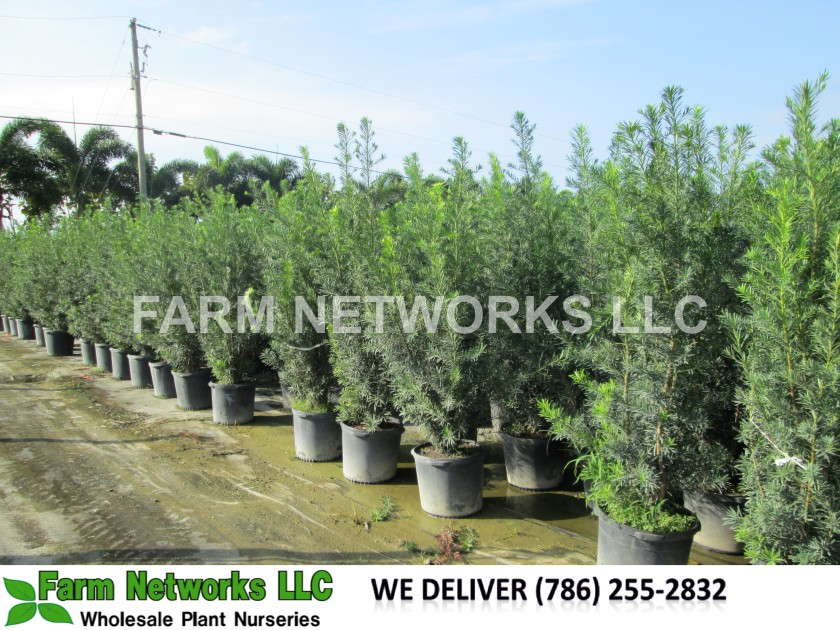 3-Gallon-Podocarpus