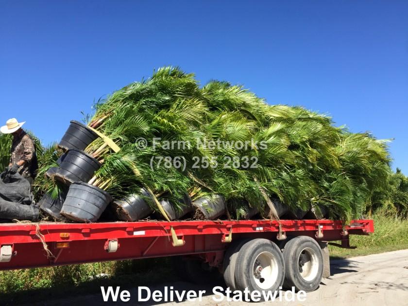 30 Gallon Areca Palm Trees