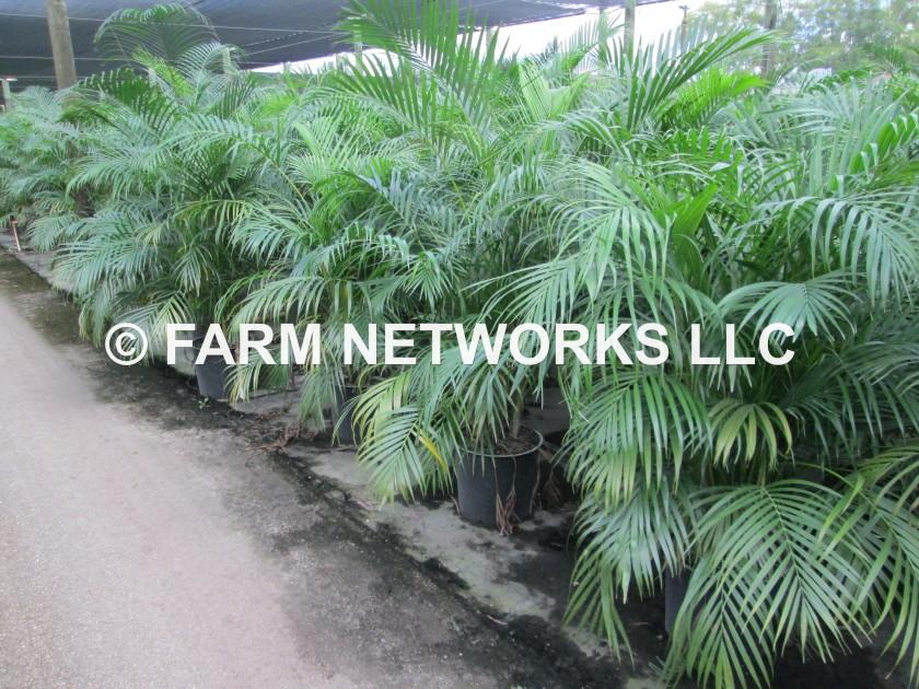 30 Gallon-Areca Palms for Sale