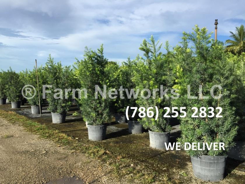 30-Gallon-Podocarpus