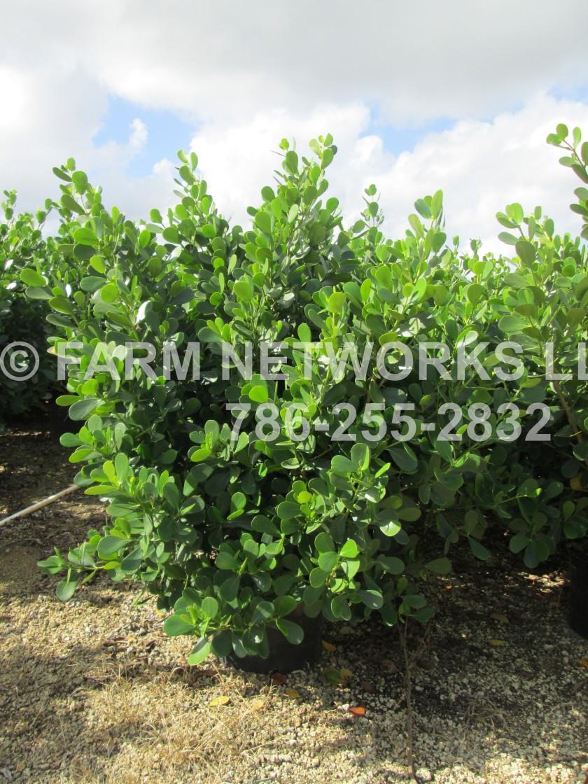 Guttifera Small Leaf