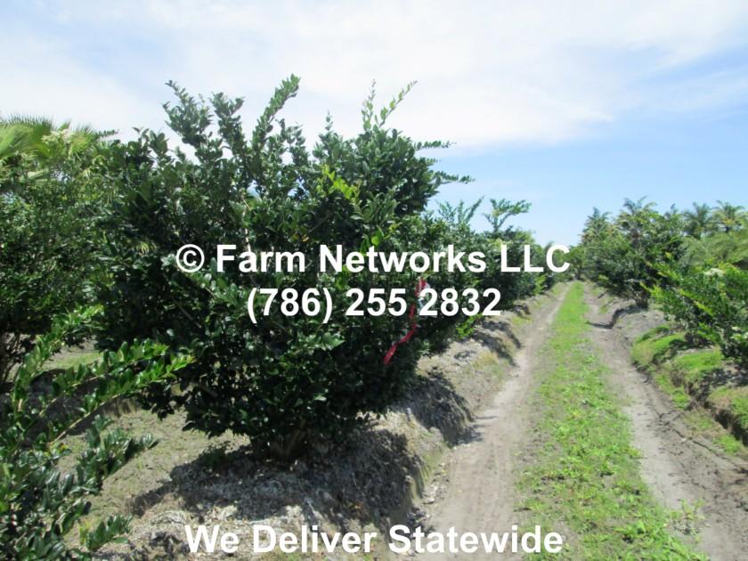 45 Gallon Ligustrum Trees