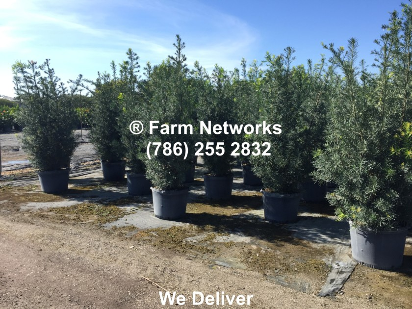 45-Gallon-Podocarpus-Broward