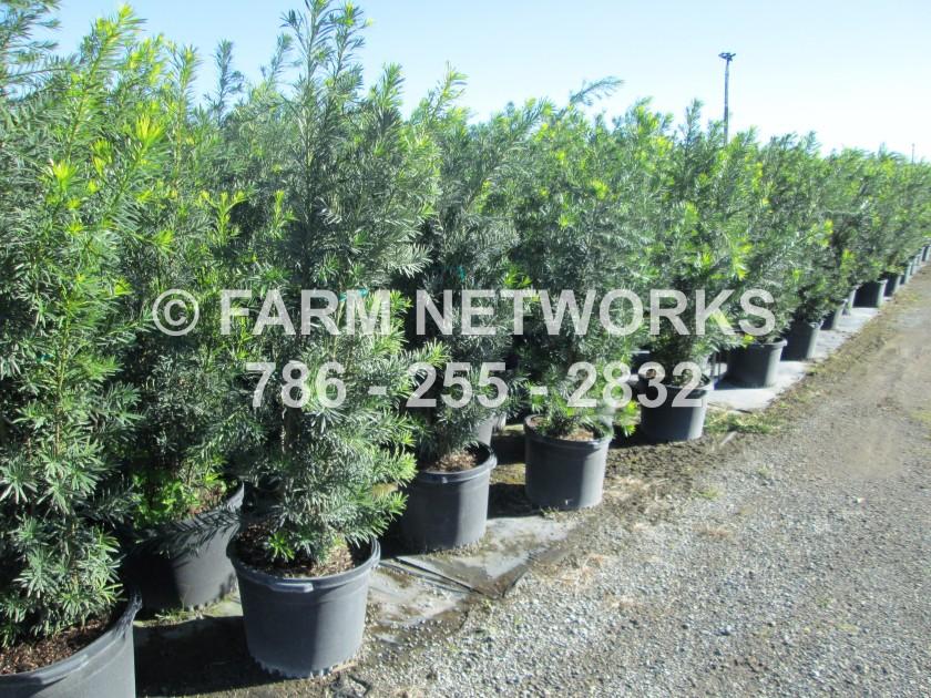 podocarpus-macrophyllus-maki-japanese-yew