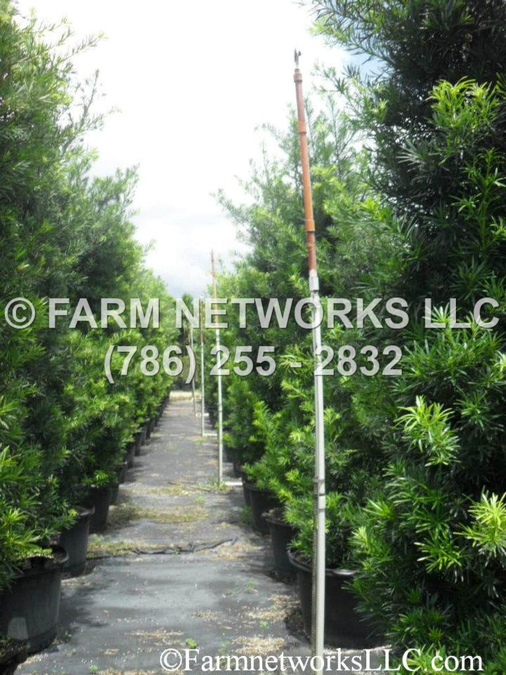 25 Gallon Podocarpus