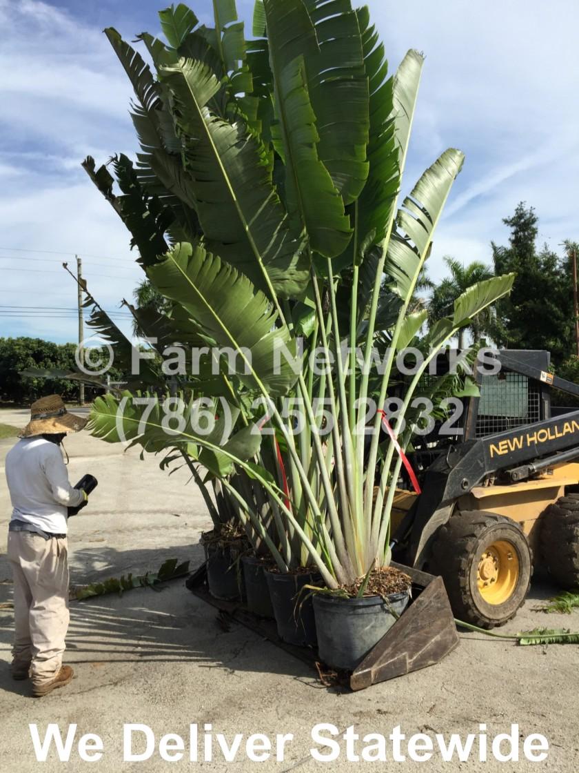 45 Gallon Traveler Palm