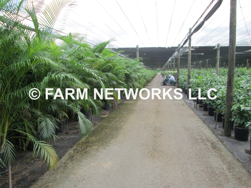 7 Gallon-Areca Palm Trees
