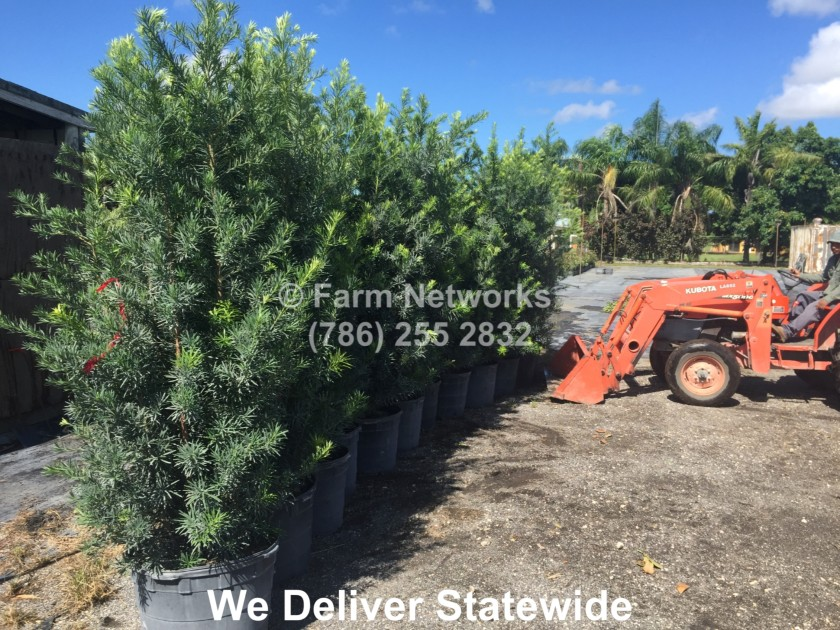 7-Gallon-Podocarpus-Broward
