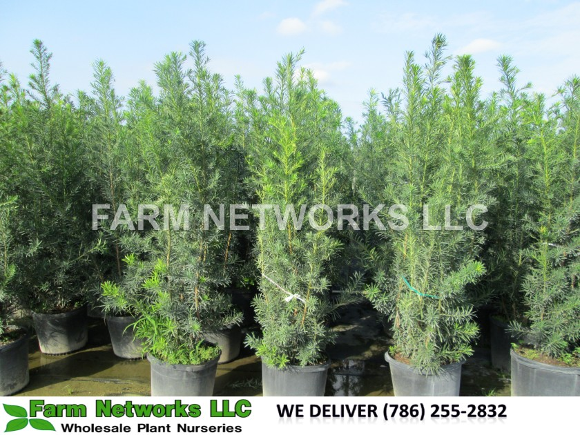 7-Gallon-Podocarpus