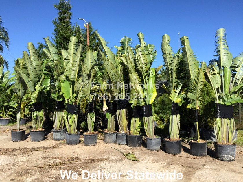 7 Gallon Traveler Palm