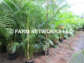Areca Palm, Dypsis lutescens