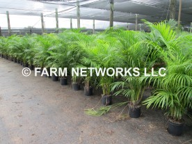 Areca-Palm-Nursery