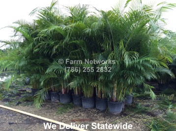 Areca Palm Trees Broward