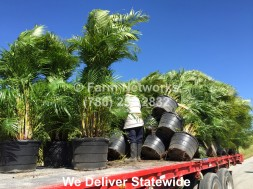 Areca Palm Trees Nursery