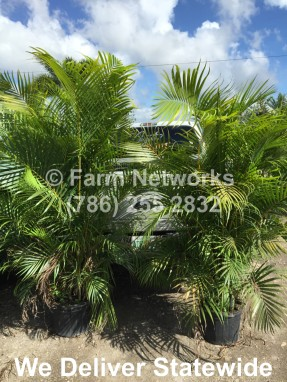Areca Palm Trees-Prices-7 Gallon