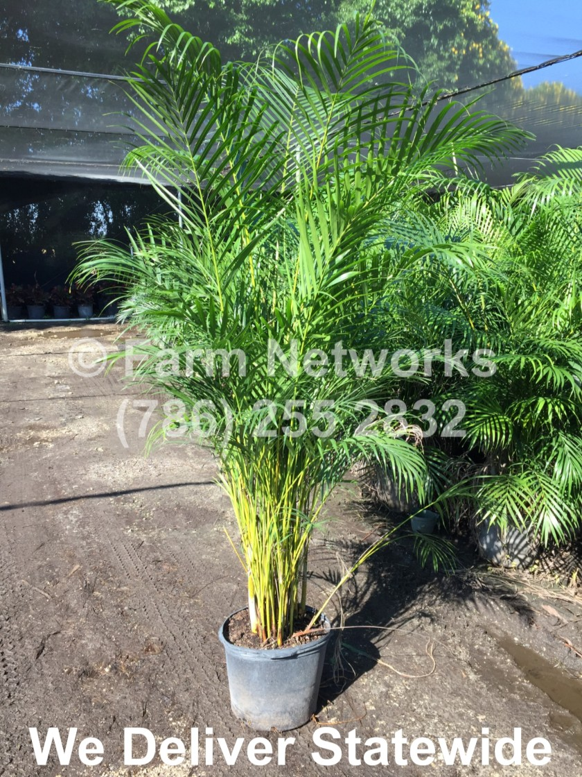 Areca Palms for Sale in South Florida