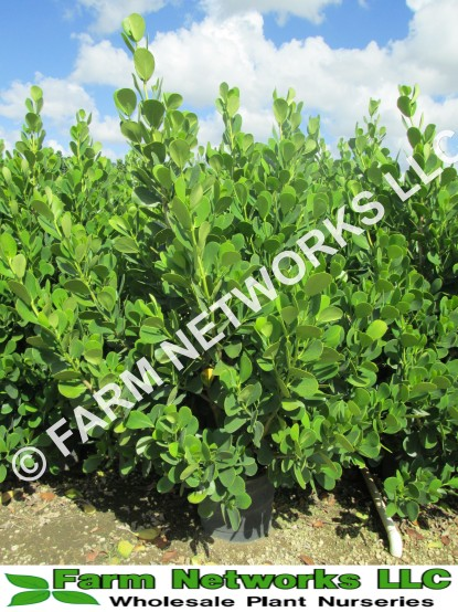 clusia plant cost,clusia nursery,coral springs plant nurseries,