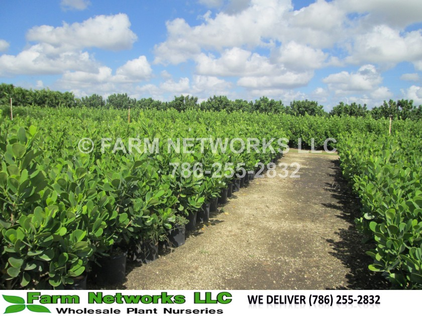 Clusia-Plant-Nursery-Florida