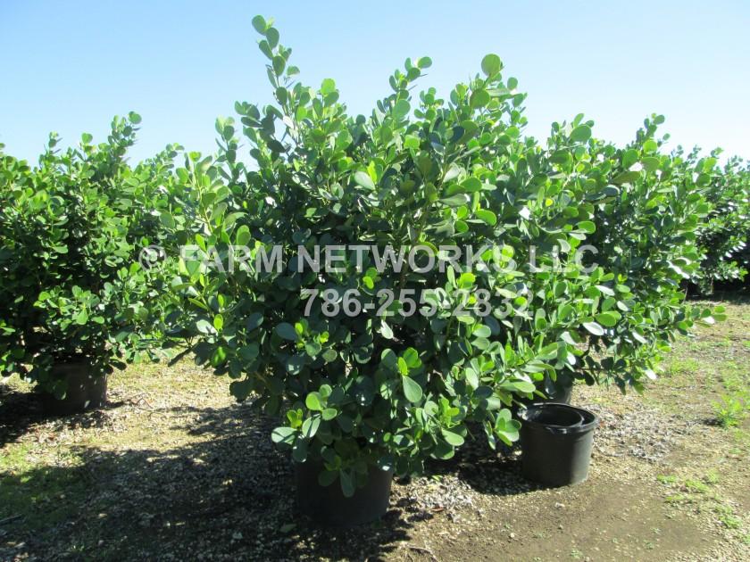Clusia-Plant-Nursery-Parkland, FL