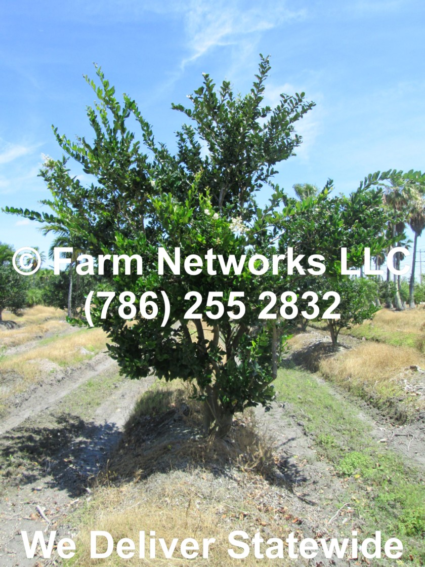 Field Grown Ligustrum Trees