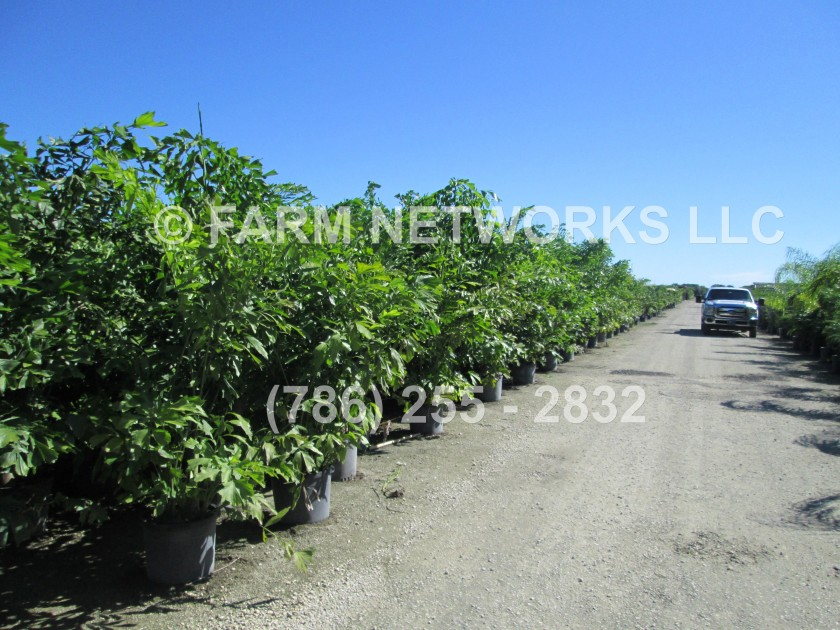 Fishtail Palm Trees-15 Gallon (2)
