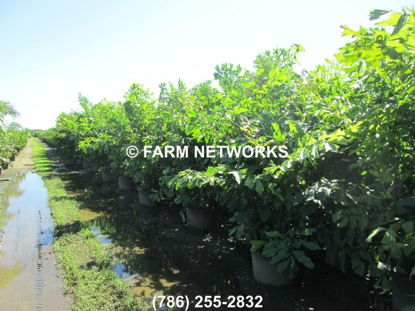 Fishtail Palm Trees Miami