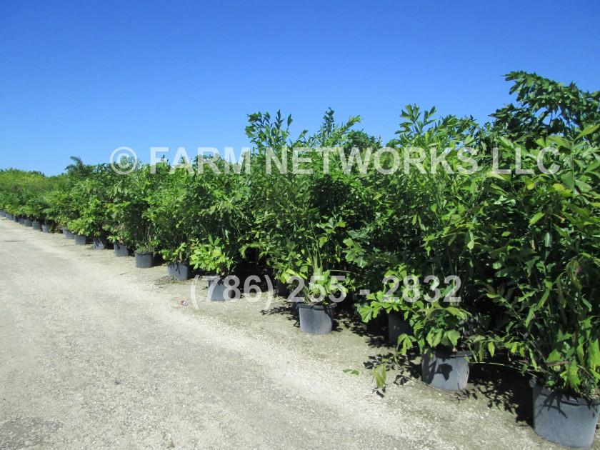 Fishtail Palm Trees-Florida
