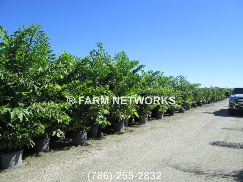 Fishtail-Palm Trees