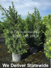 homestead podocarpuspodocarpus maki 25 gal Nursery