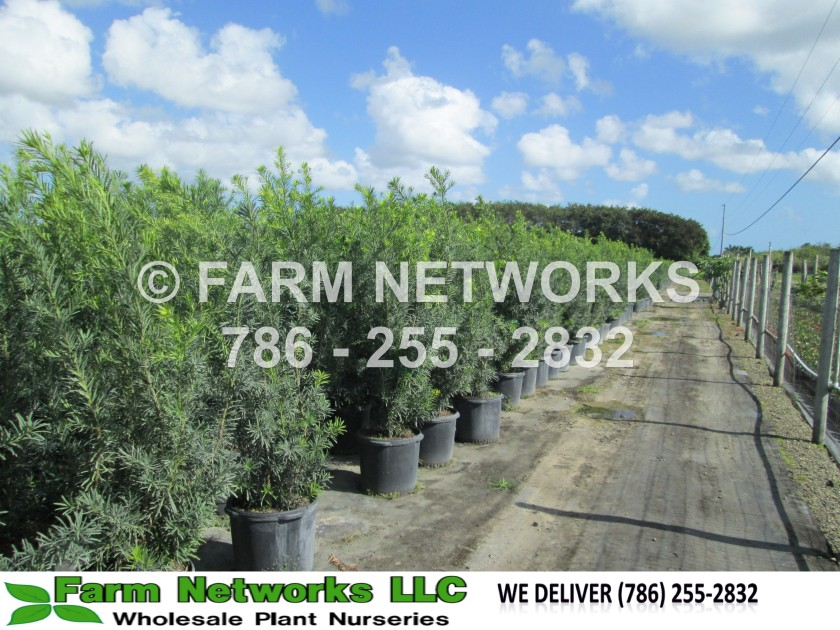 Podocarpus-Broward-Nursery