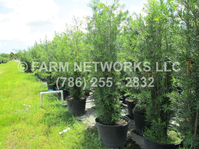 Podocarpus-Coral-Springs-Nursery