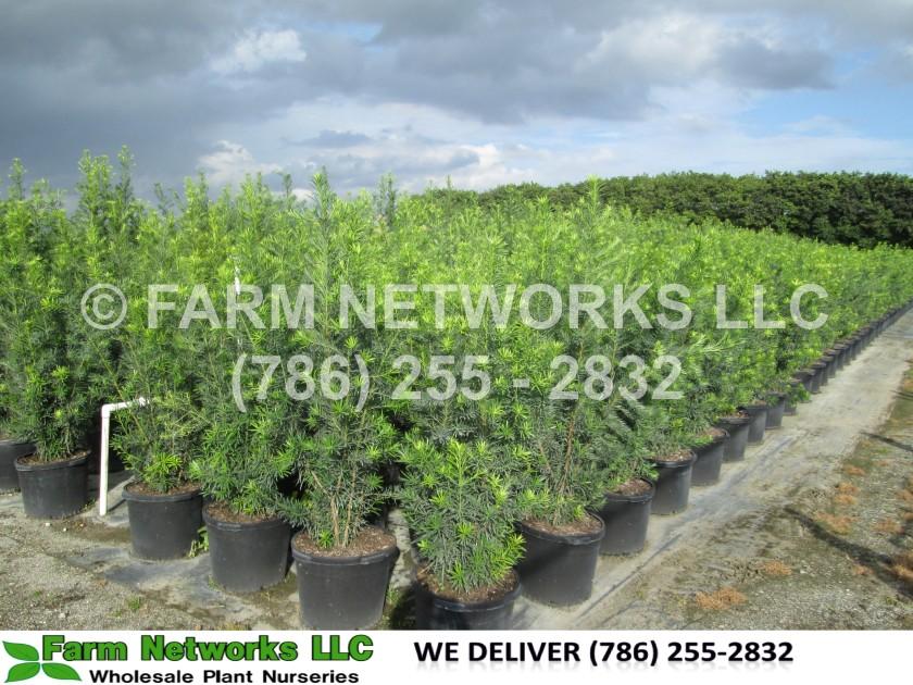 Homestead Podocarpus Nursery