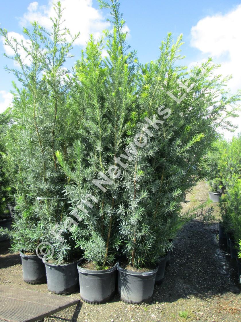 Podocarpus-Naples-Nursery