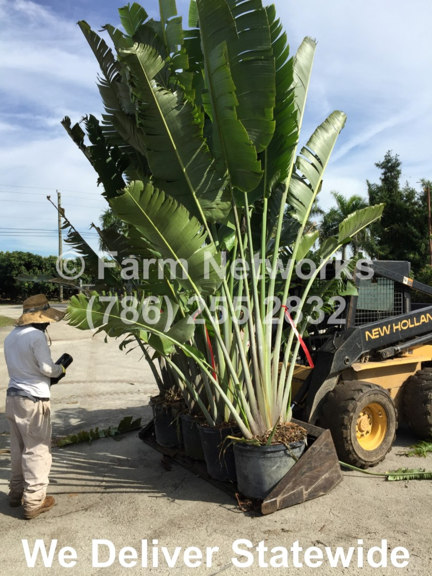 Traveler Palm for Sale