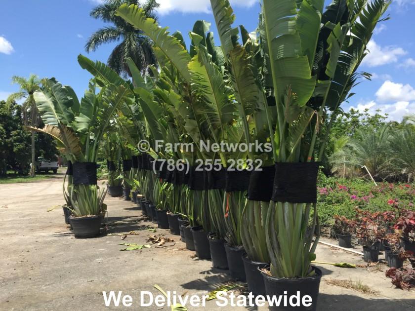 Traveler Palm Homestead