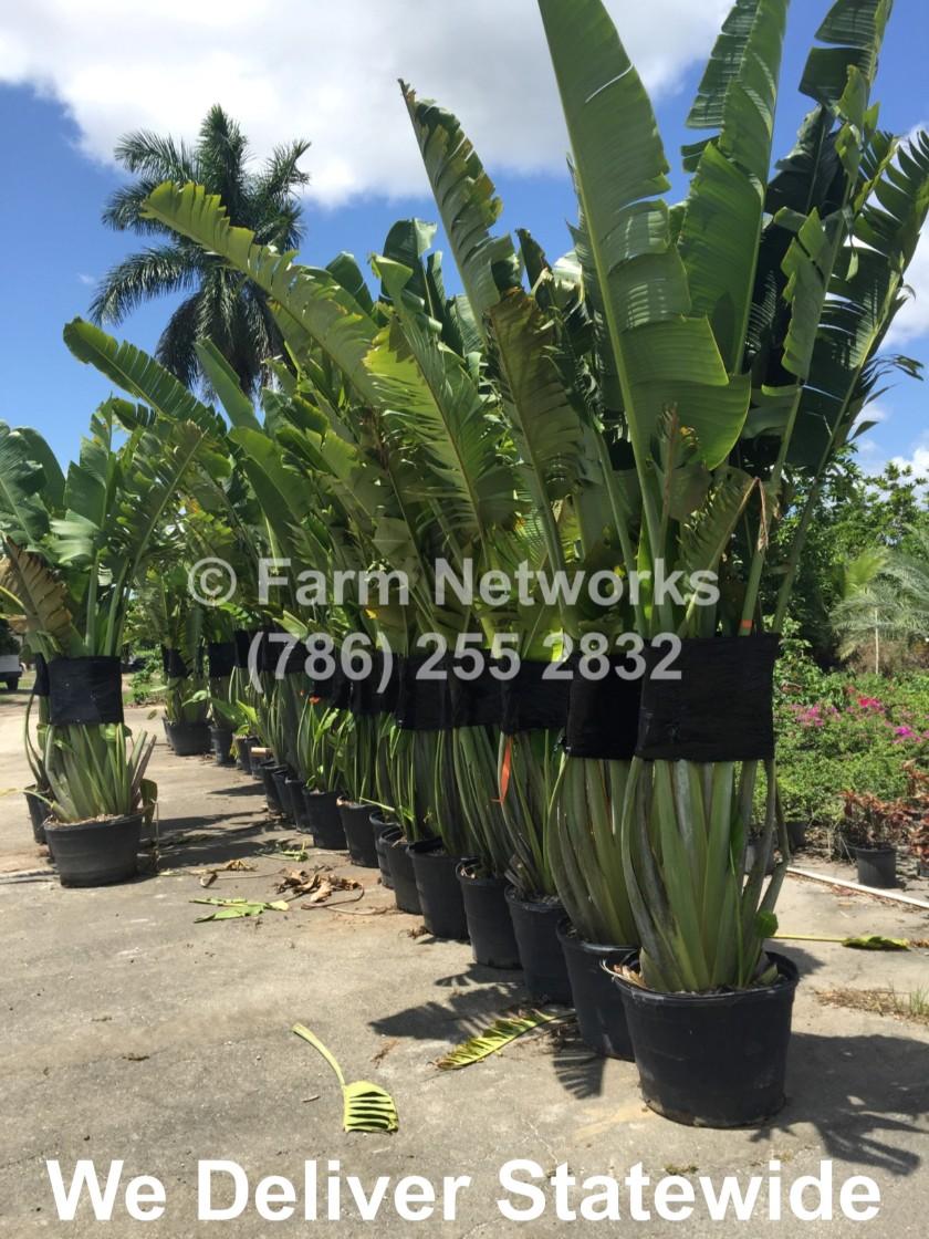 Traveler Palm Miami
